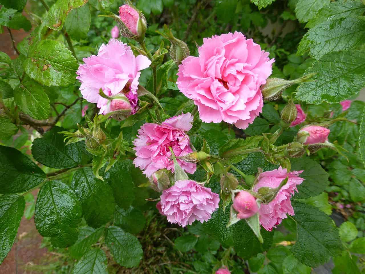 Rosa blühende Wildrose