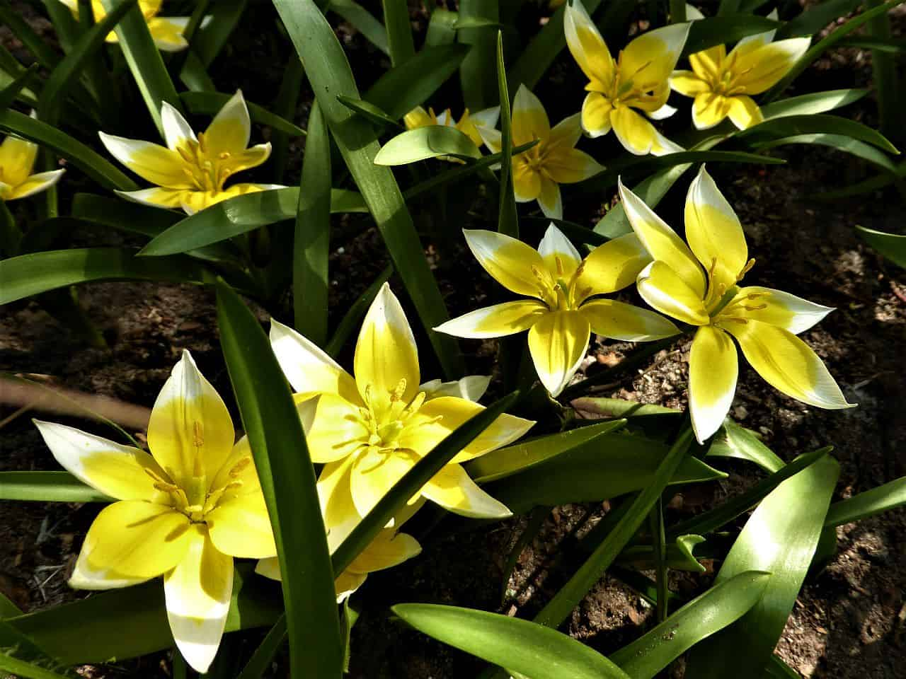 Gelbe Tarda-Tulpen