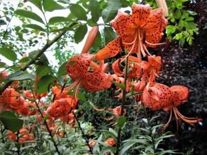 Tigerlilien – pflanzen und pflegen