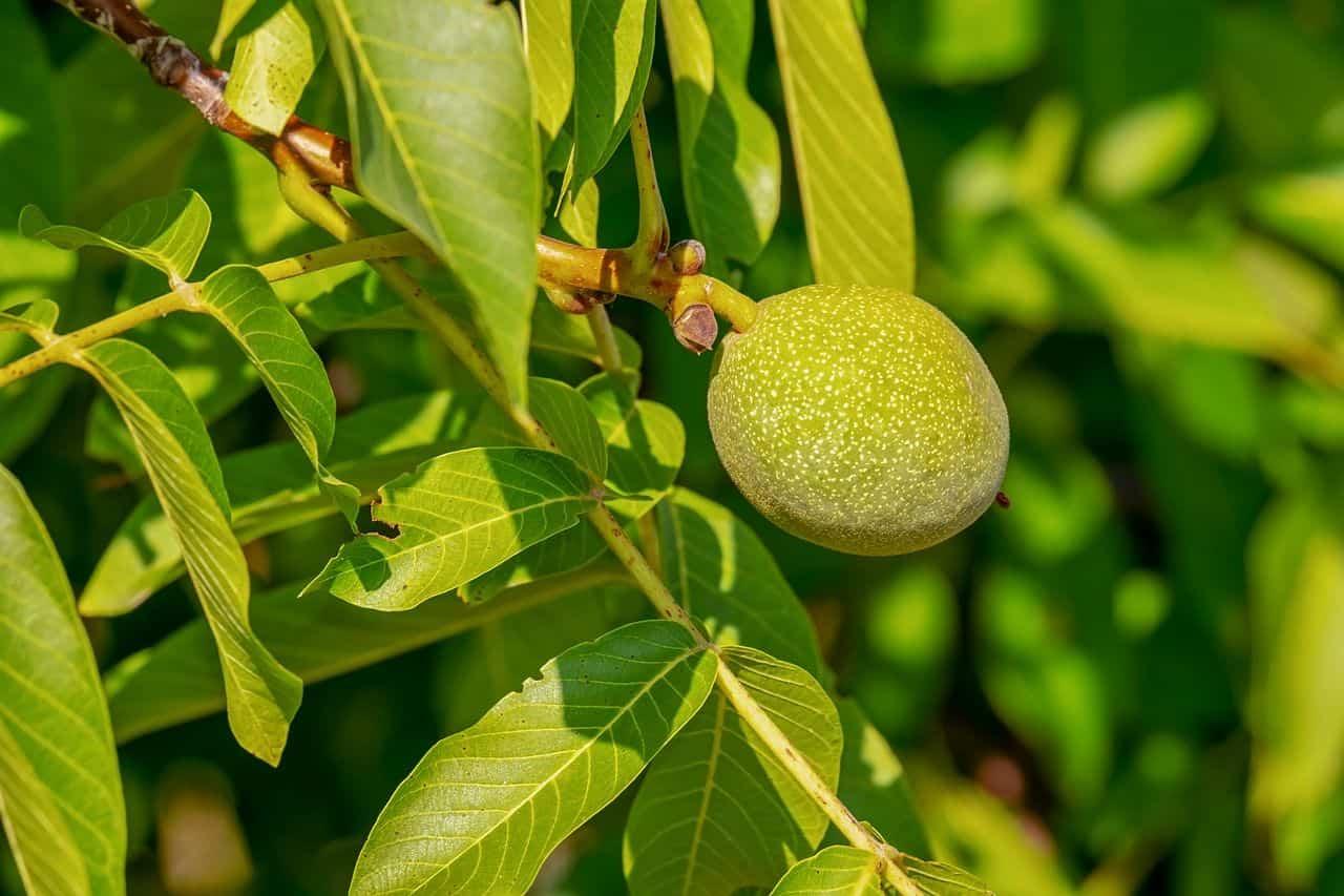 Walnussbaum mit Frucht
