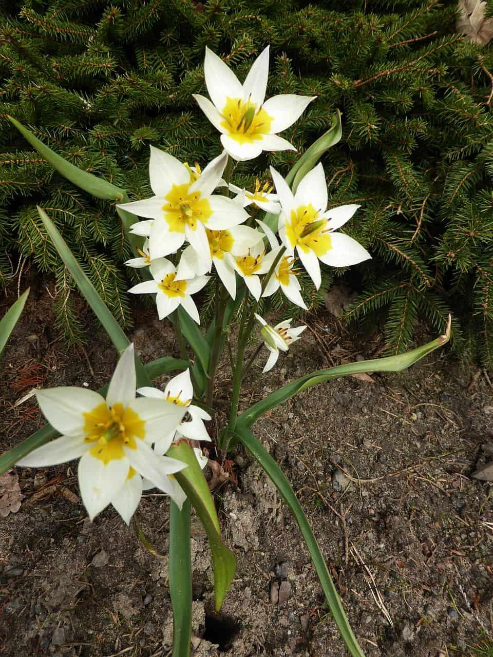 Langlebige Tulpen