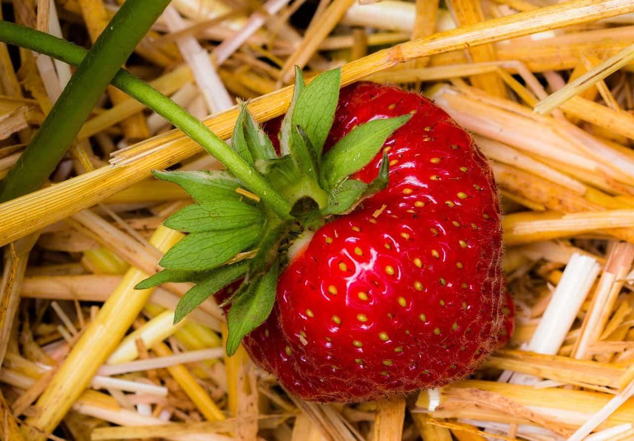 Erdbeere auf Stroh