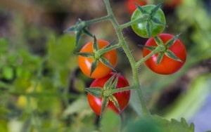 Tomatenpflanzen richtig gießen