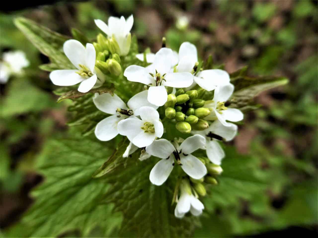 Knoblauchsrauke – ein vitaminreiches Wildkraut