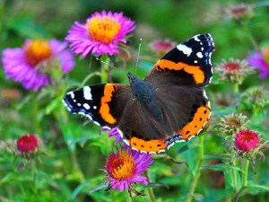 Die häufigsten Schmetterlingsarten in unseren Gärten