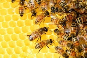 Die Biene – unverzichtbar im Ökosystem