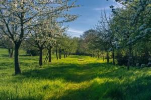 Streuobstwiesen – ein Refugium nicht nur für alte Obstsorten