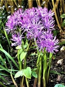 Wiesenraute – eine fast vergessene Gartenstaude ist wieder da