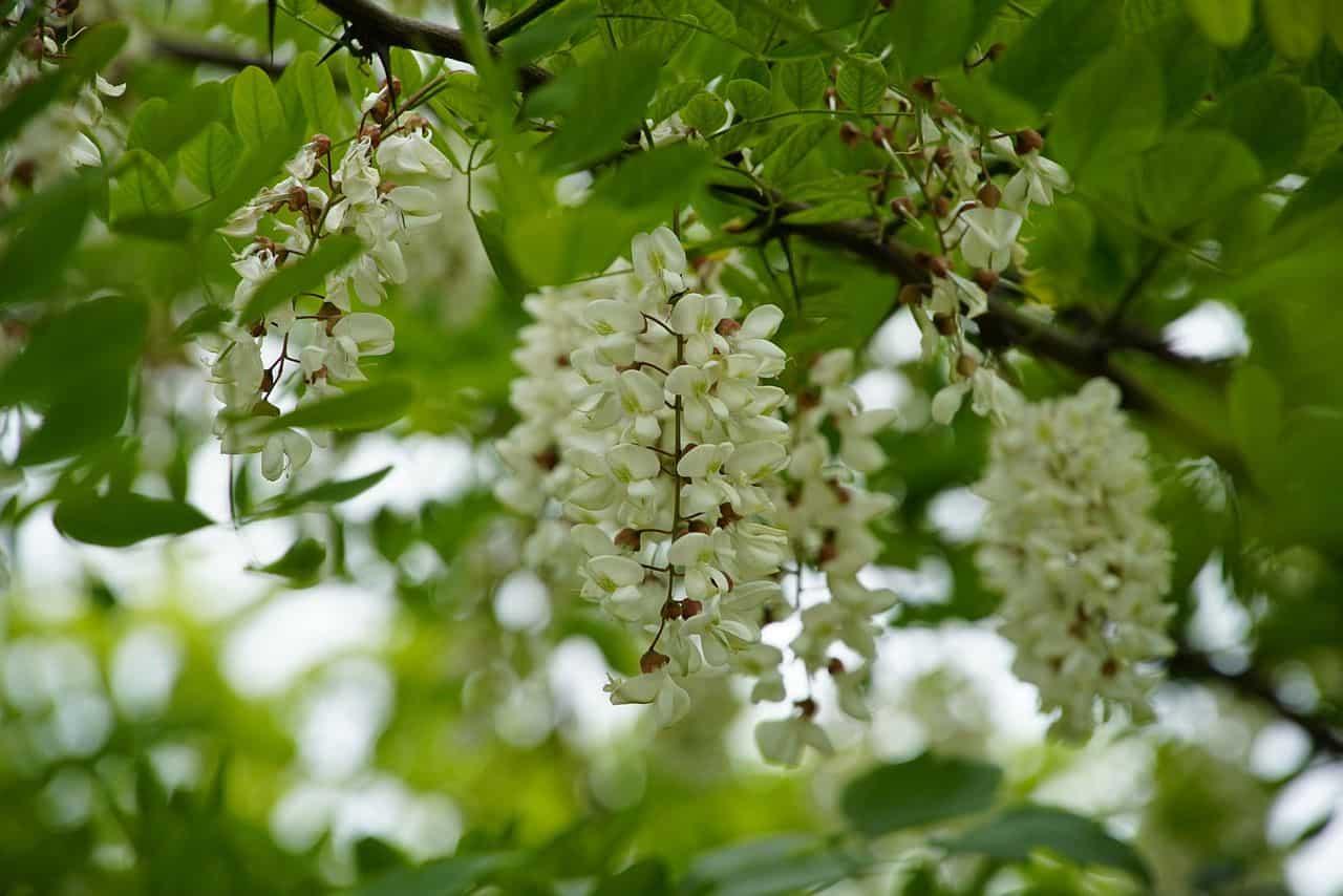 Blüten der Gewöhnlichen Robinie
