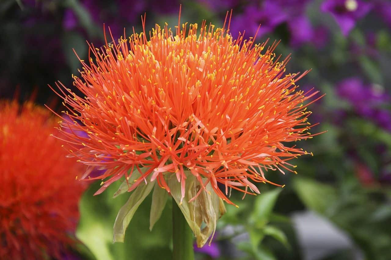 Die Blutblume – ein hübscher Vertreter aus der Familie der Amaryllisgewächse