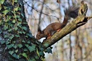 Efeu an Bäumen – Schaden oder Nutzen?