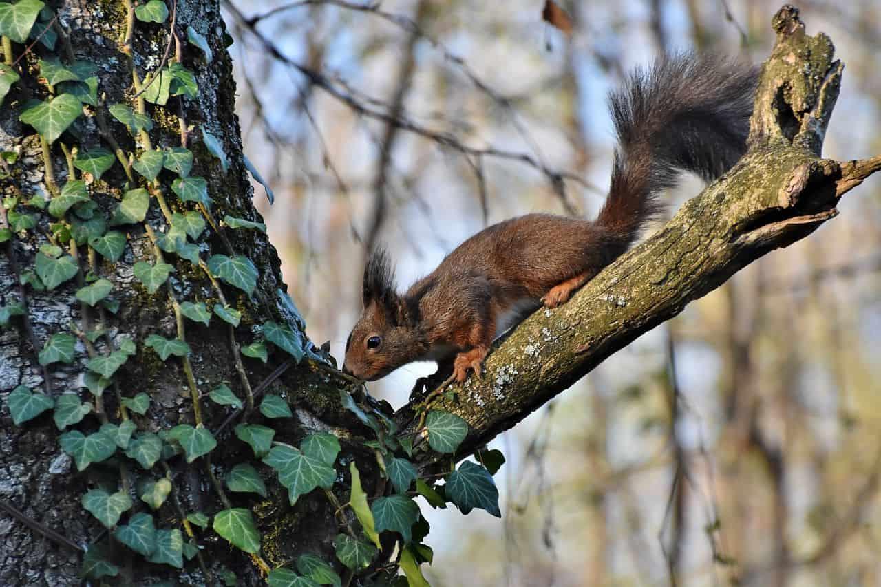 Efeu am Baum mit Eichhörnchen