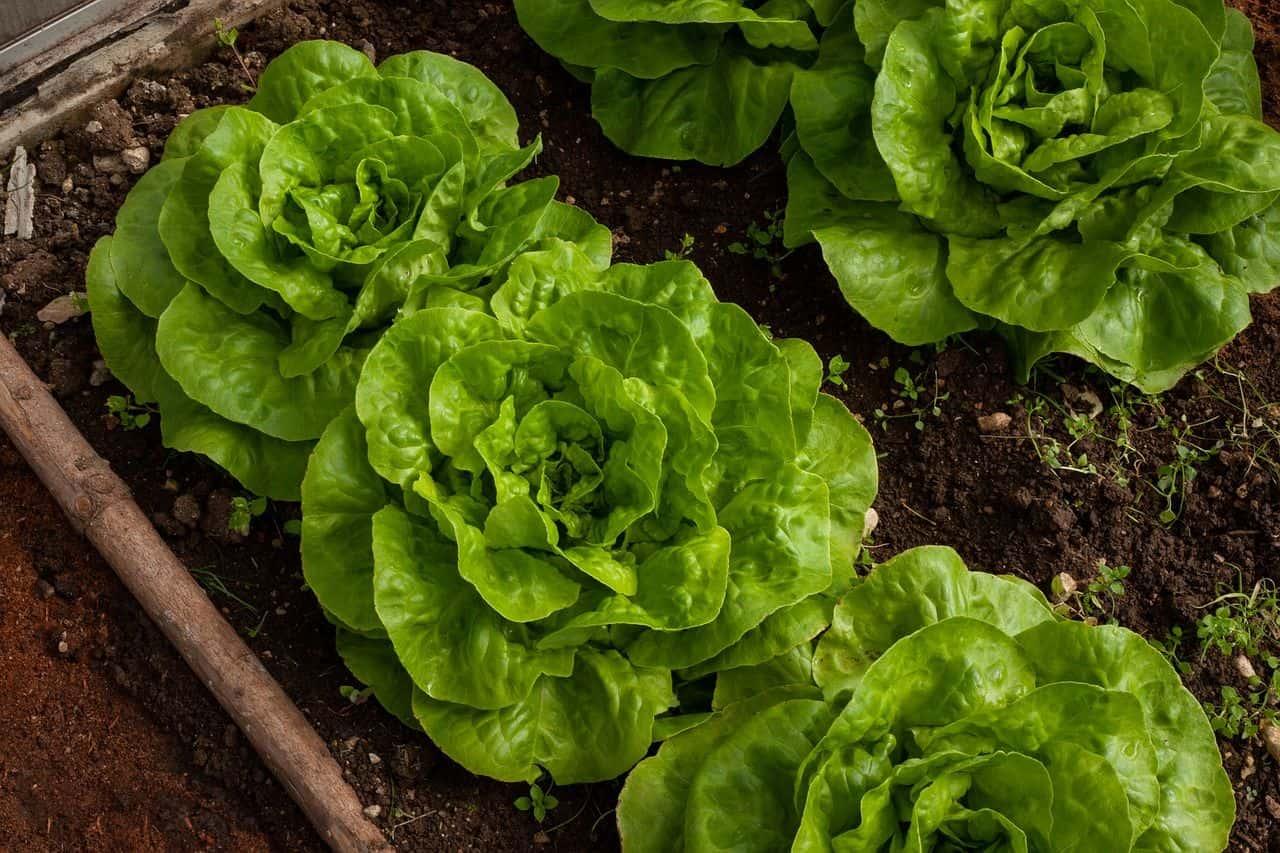 Gemüsebeet mit Salatköpfen