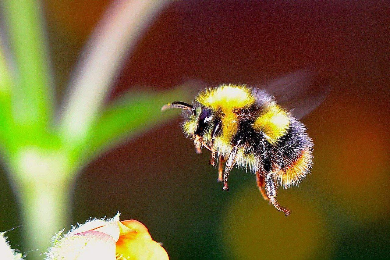 Hummeln –  eine streng geschützte Insektenart