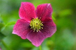 Die Stinkende Nieswurz – ein schöner Blickfang im Garten