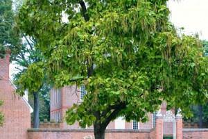 Der Trompetenbaum