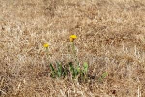 Verbrannten Rasen retten