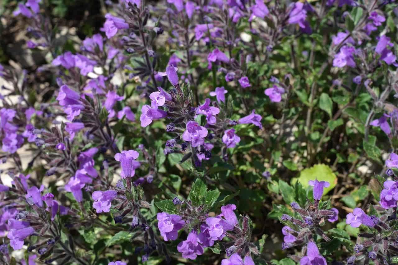 Alpen-Steinquendel – eine lilafarbene, duftende Pflanze