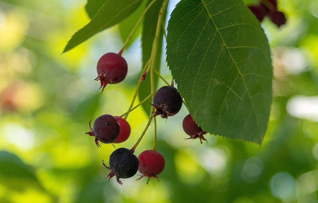 Früchte der Apfelbeere