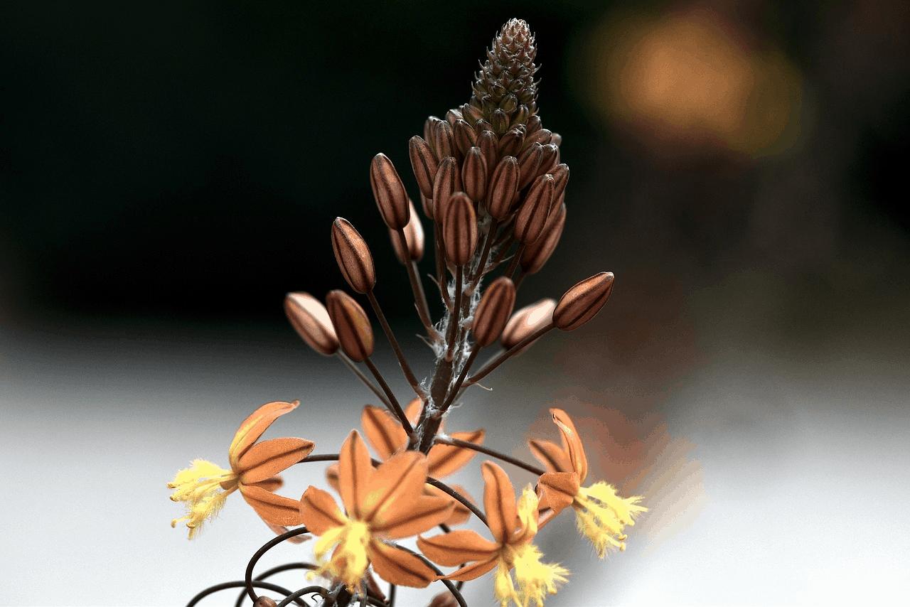 Die Katzenschwanzpflanze