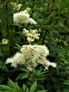 Mädesüß – noch vielseitiger als Holunderblüten