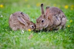 Kaninchen aus dem Garten vertreiben