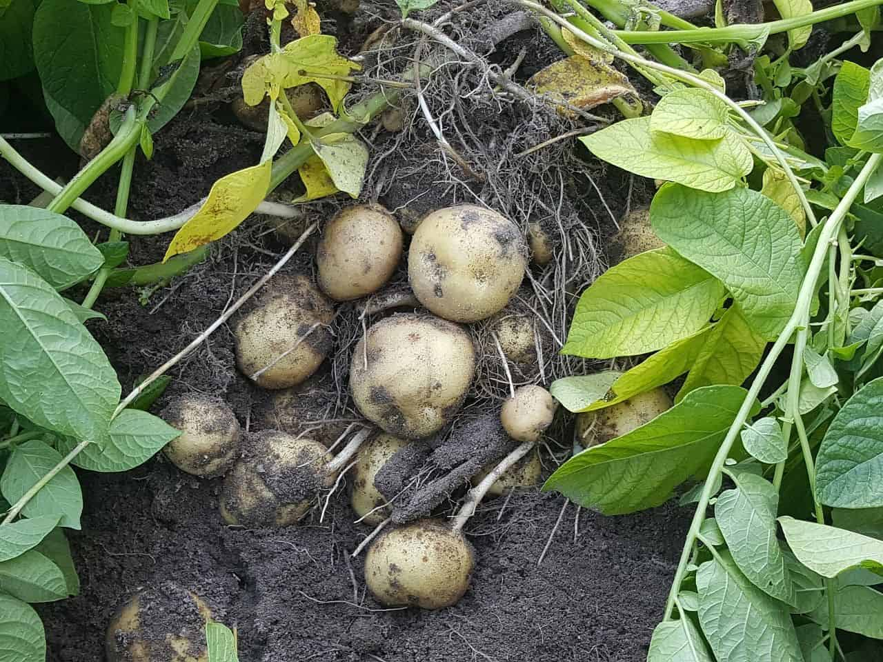 Erntereife Kartoffeln