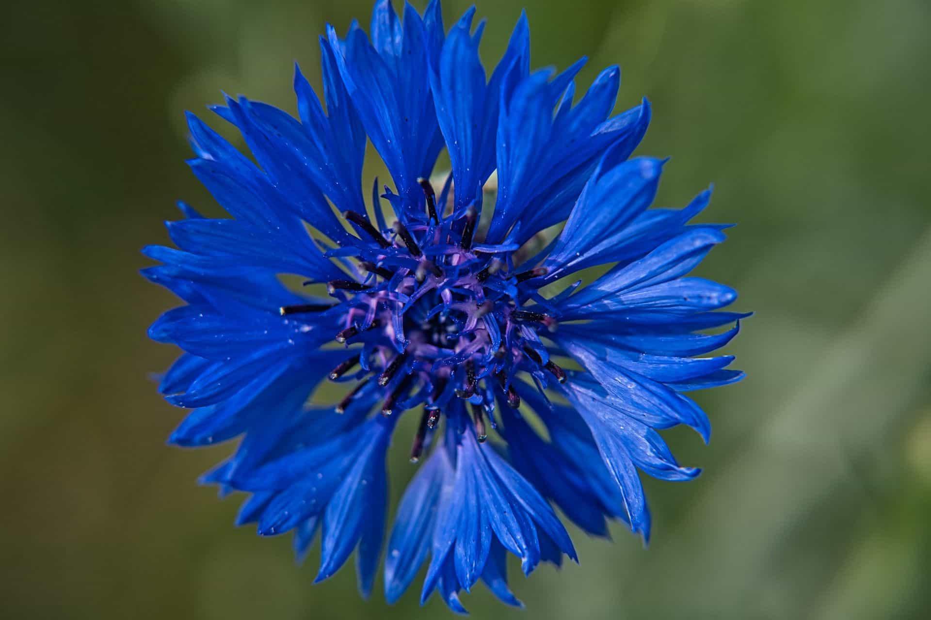 Einfach schön: die blaue Kornblume
