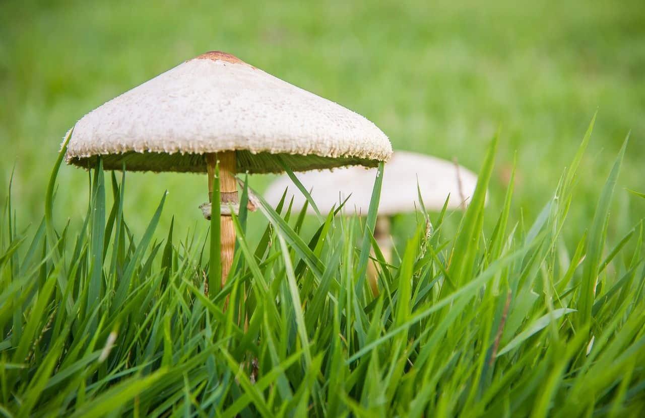 Das lässt sich gegen Pilze im Rasen tun