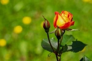Rosen richtig düngen