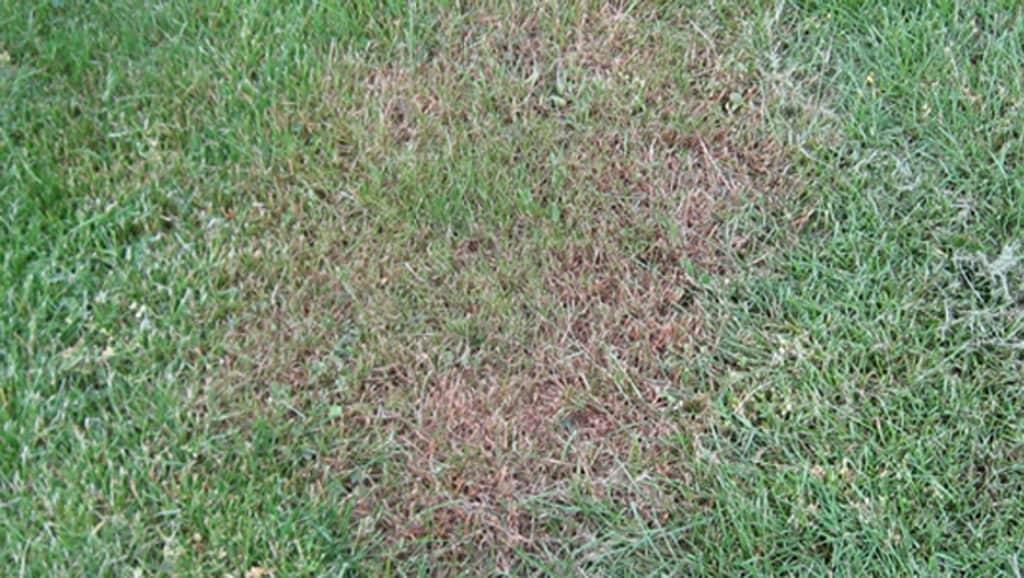 Ein von Rotspitzigkeit befallener Rasen