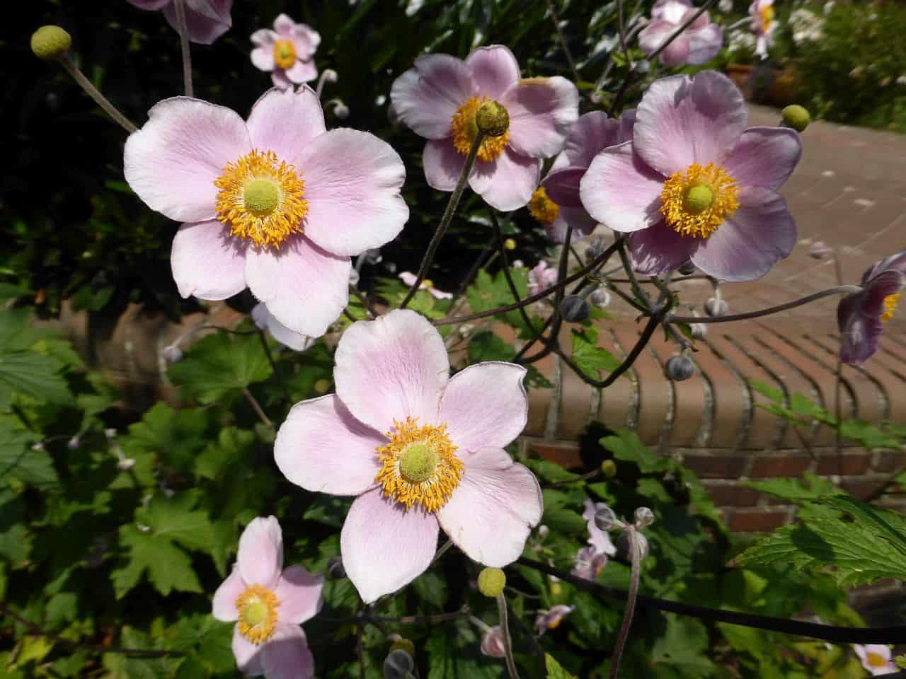 Rosafarbene Blüten einer Anemone