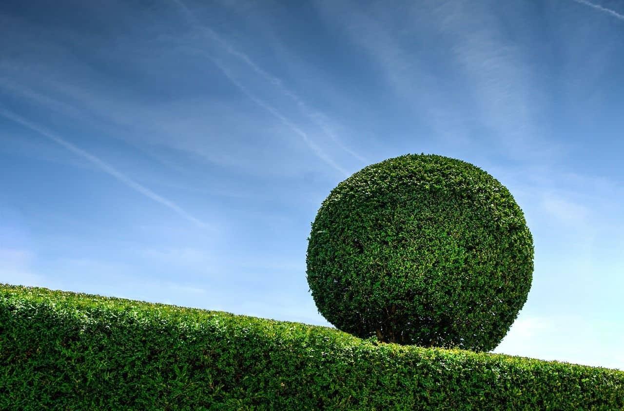 Den Buchsbaum richtig schneiden