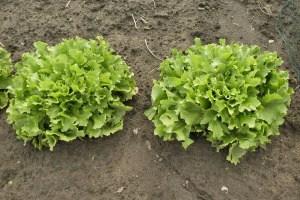 Endivien im eigenen Garten anbauen