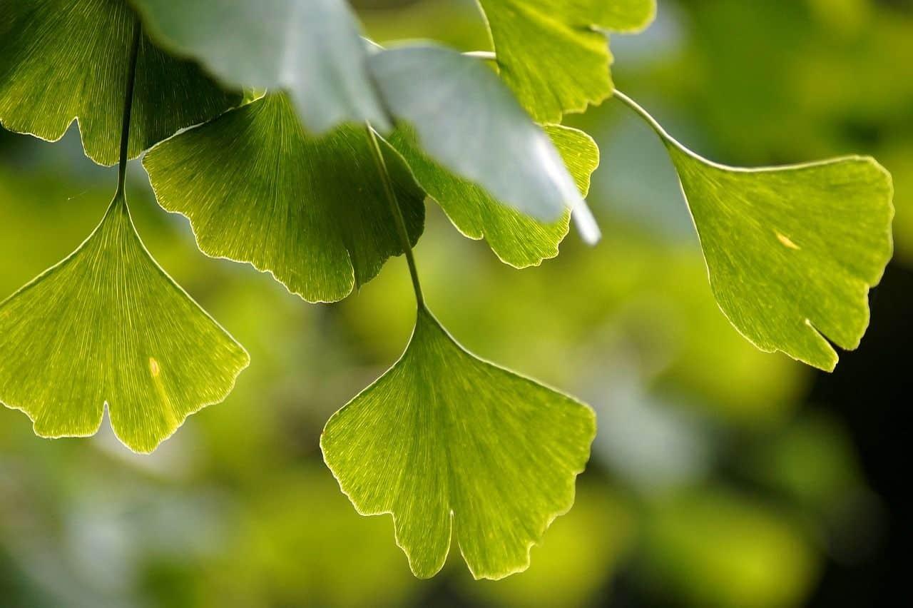 Blätter des Ginko-Baumes
