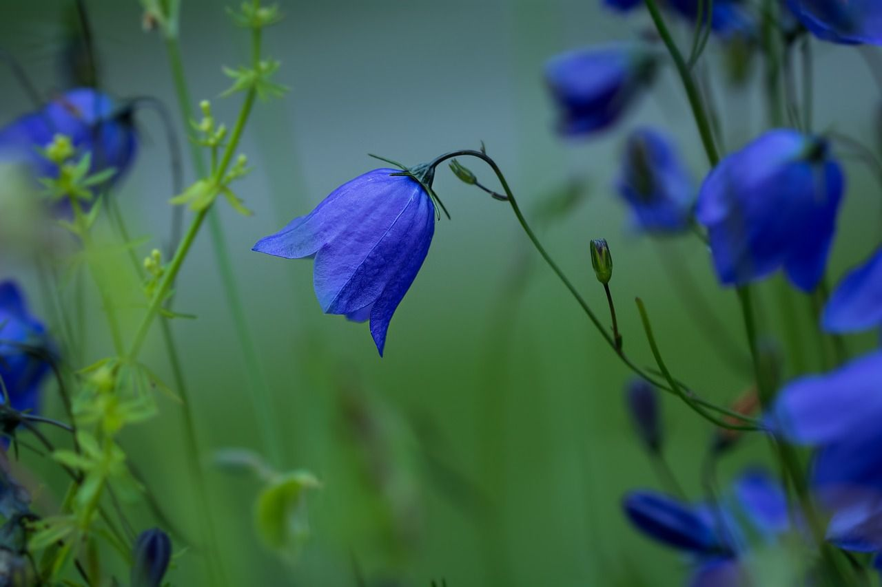 Blaue Glockenblumen