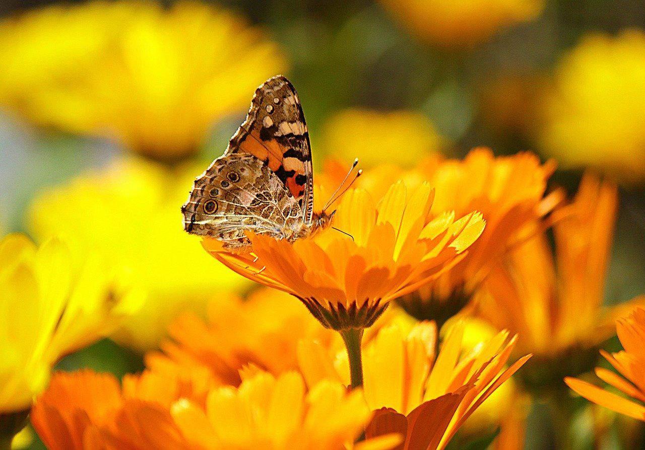 Die Ringelblume – ein Pflanzenportrait