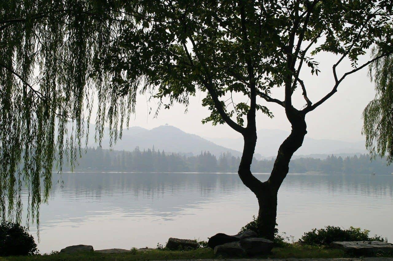 Silhouette eine Gingko-Baumes