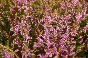 Heidekraut pflanzen und pflegen