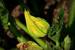 Zucchini – die häufigsten Krankheiten und Schädlinge