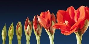 Amaryllis kultivieren – Blütenzauber zur Weihnachtszeit