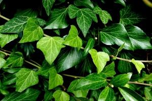 Zimmerefeu – ein Pflanzenportrait