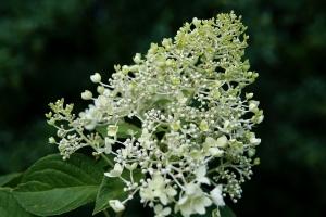 Hortensien richtig umpflanzen