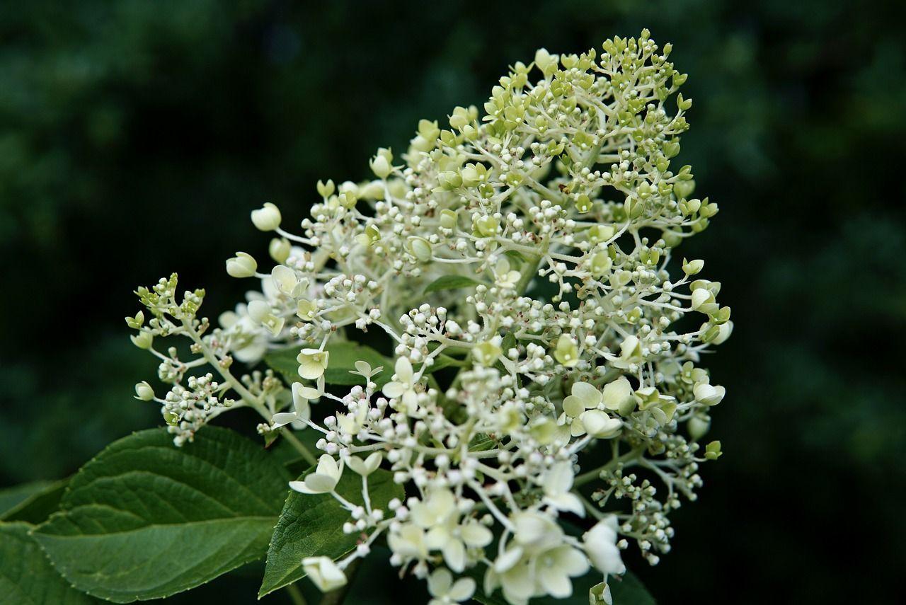 Blüte einer Rispenhortensie