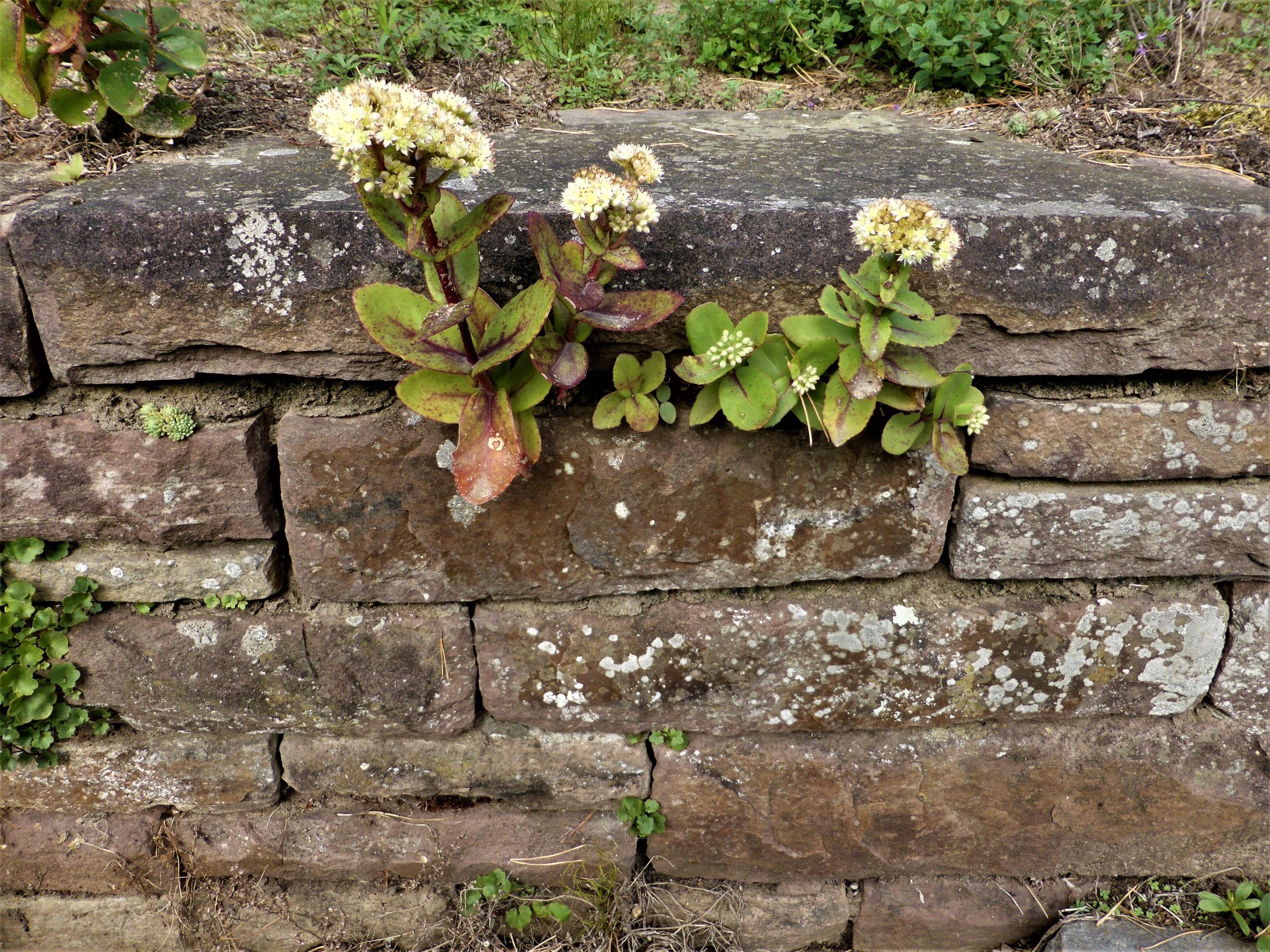 Sedum in einer Trockenmauer