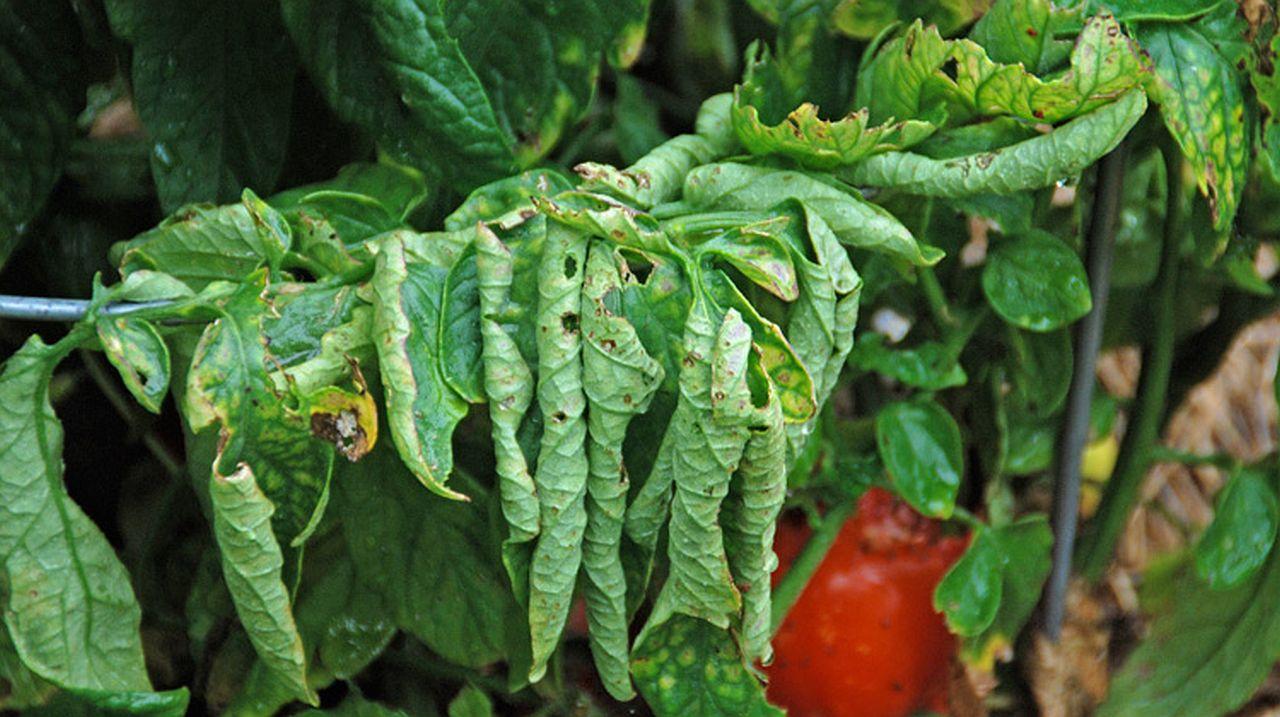 Eingerollte Tomatenblätter