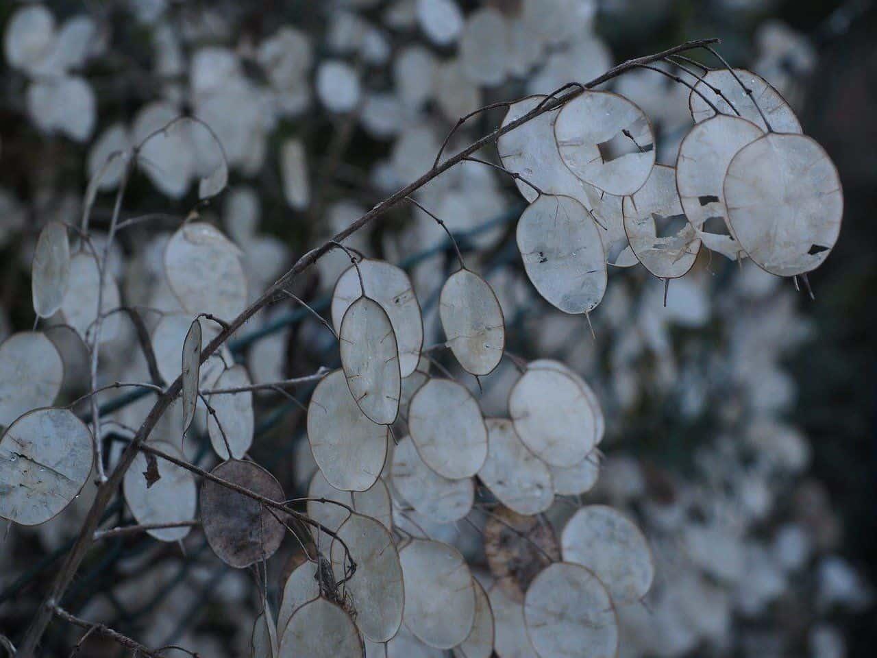Das Ausdauernde Silberblatt – ein Pflanzenportrait