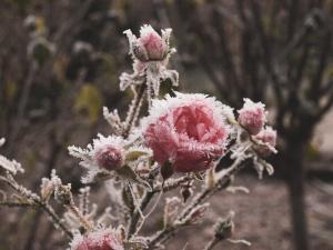 So kommen Rosen gut über den Winter