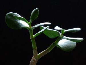 Der Geldbaum – ein Pflanzenportrait