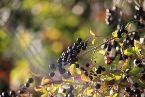 Liguster – so lässt sich eine schöne Hecke gestalten